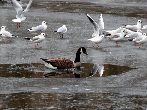 weather-freeze-goose.jpg