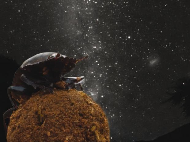 dung-beetle-PA.jpg