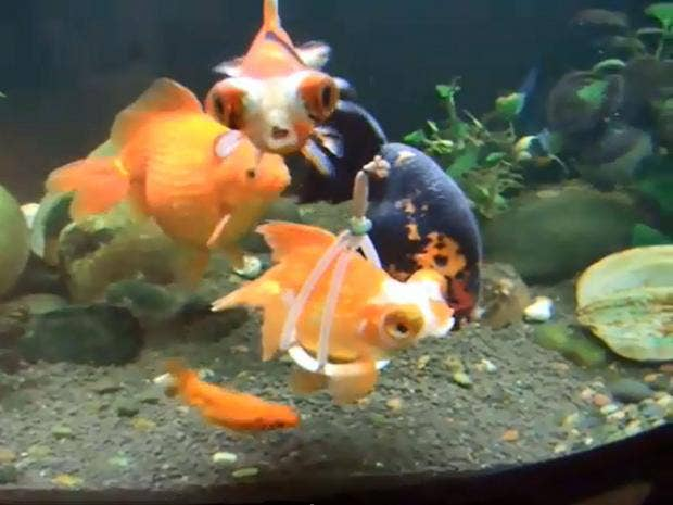 disabled-goldfish.jpg
