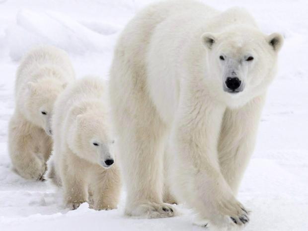 pg-30-polar-bears-ap.jpg