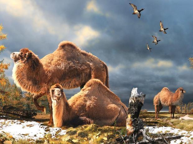 pg-24-camels-pa.jpg