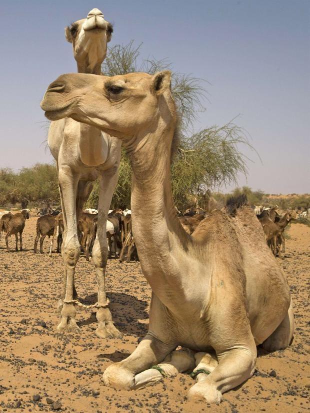 pg-32-camels-getty.jpg