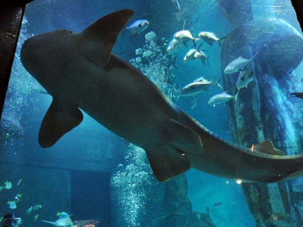 nurse-shark.jpg