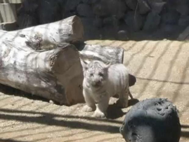 white-tiget-cub.jpg