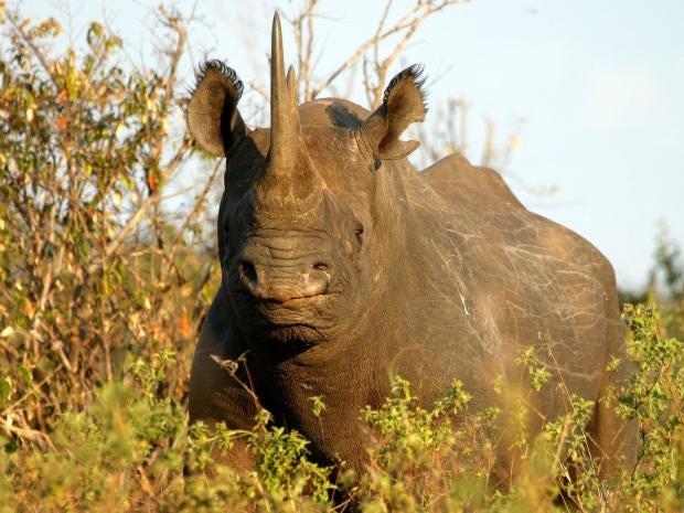 Black-Rhino-Kenya.jpg