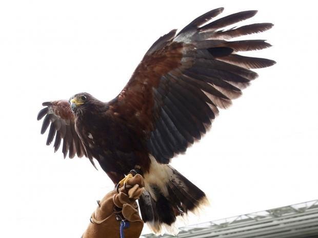 Rufus-Harris-Hawk-Reuters.jpg