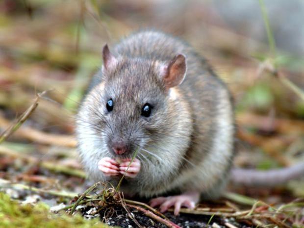 pg-21-rats.jpg