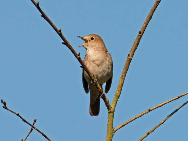 nightingale-alamy.jpg