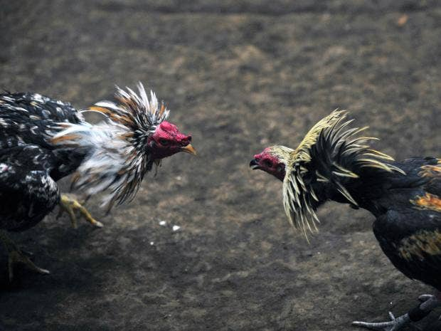 33-Two-roosters-AFP-Getty.jpg