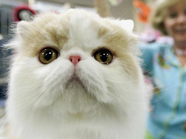 persiancat.jpg