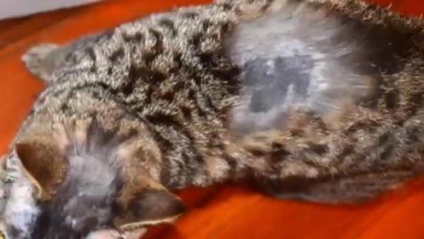 cat-swastika.jpg