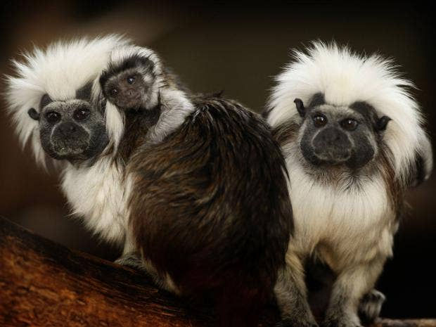 cotton-top-tamarins.jpg