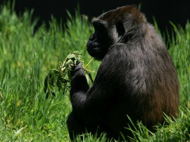 Gorilla_2.jpg