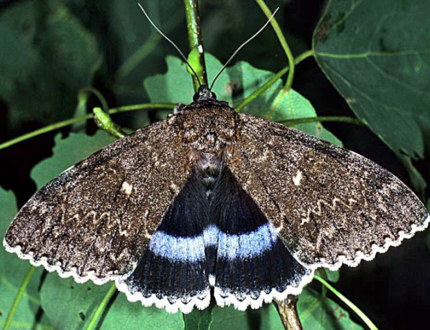 Moth.PNG