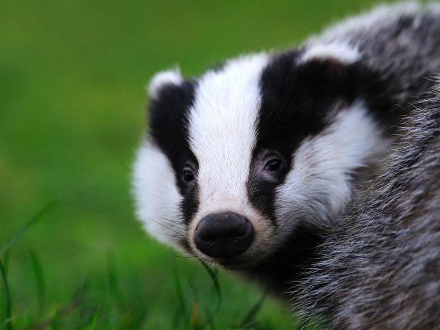 16-badgers-ala.jpg