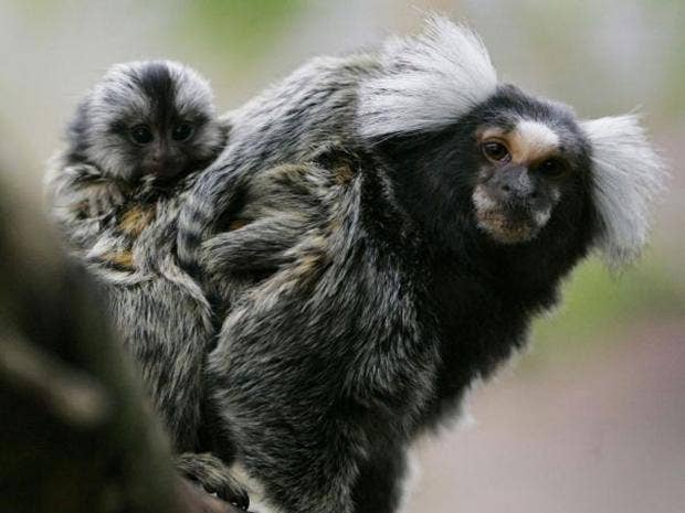 marmoset-monkey.jpg