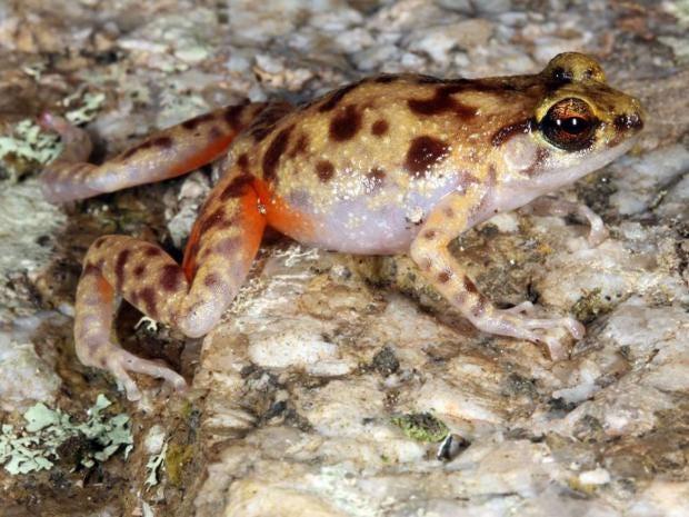31_Boulder_Dwelling_Frog_AF.jpg