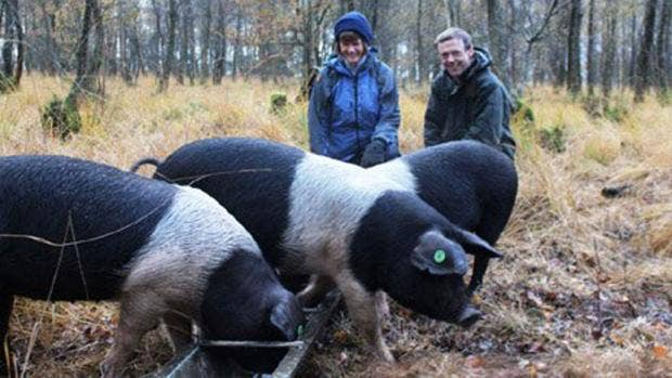saddleback-pigs.jpg