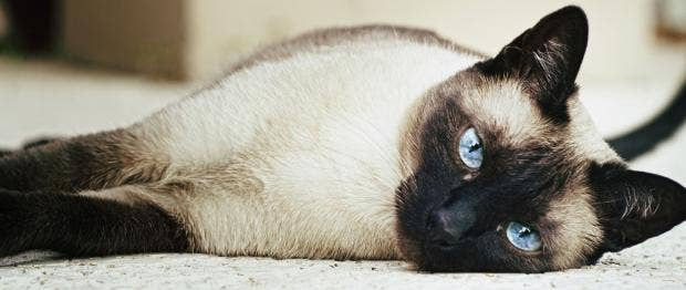 Female_siamese_cat.jpg