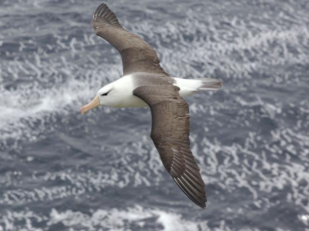17-Albatross-David-Osborn-A.jpg