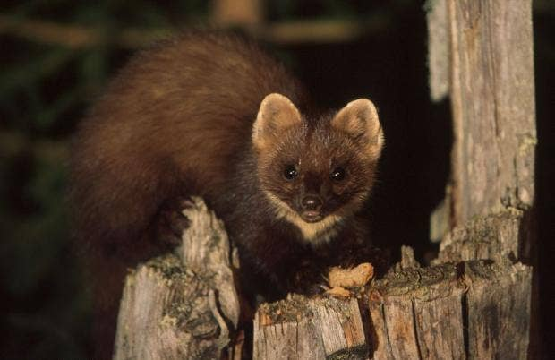 pinemarten.jpg
