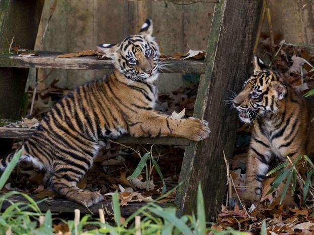 sumatran-tiger-cubs.jpg