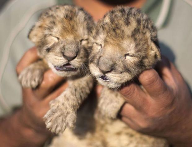 lions-getty.jpg