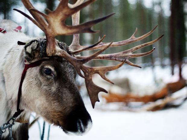 35-Reindeer-AFP-Getty.jpg