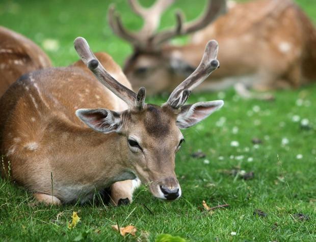 deer-getty.jpg