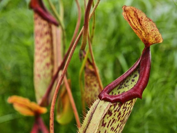p23carnivorousplantREX.jpg