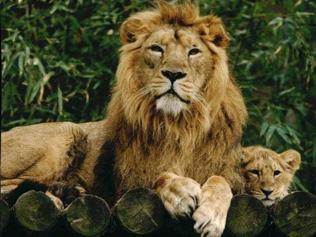 Asiatic lion pictures