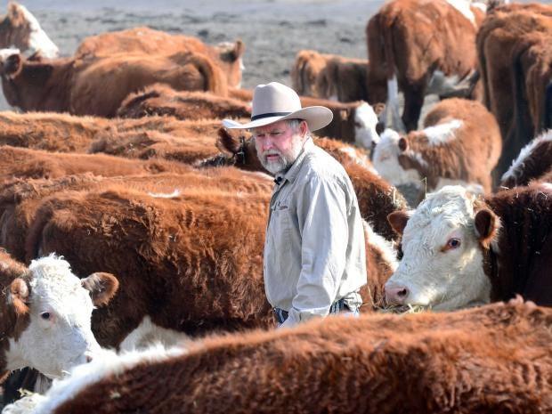 cattle-6.jpg