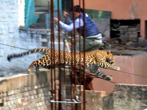 leopard-inda-1.jpg