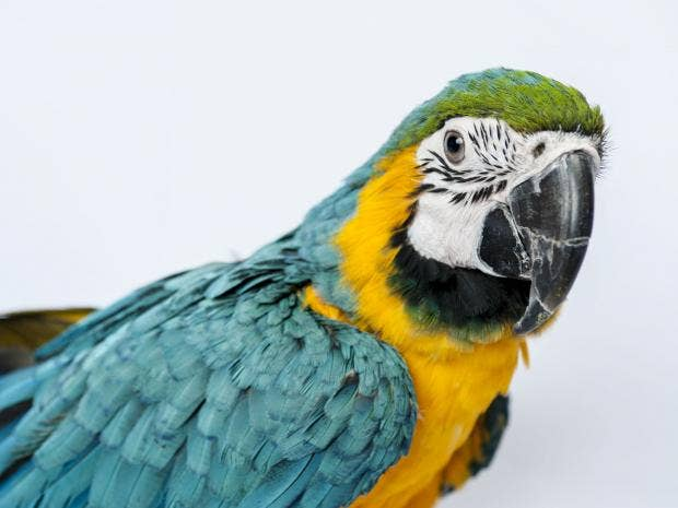 parrot.GT.jpg