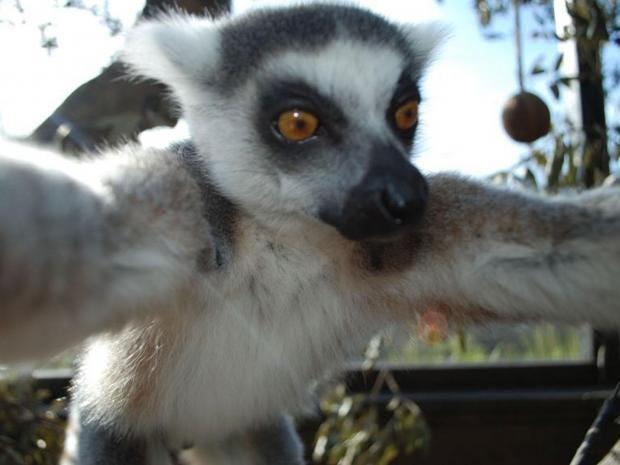 Lemur-selfie.jpg