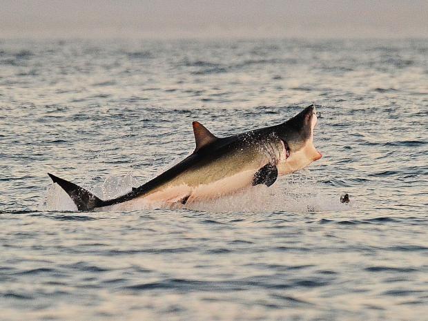 Lydia-Great-White-Shark.jpg