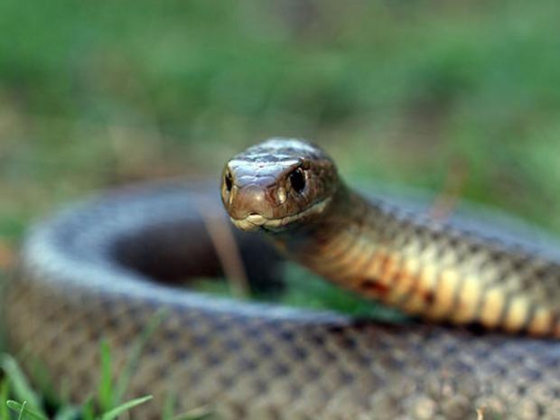 eastern-brown-snake.jpg