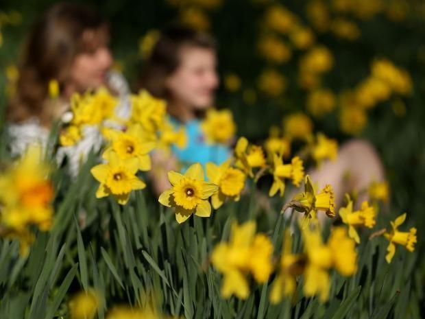 weather-daffodils-.jpg