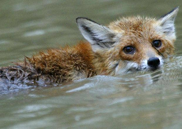 fox-swimming.jpg