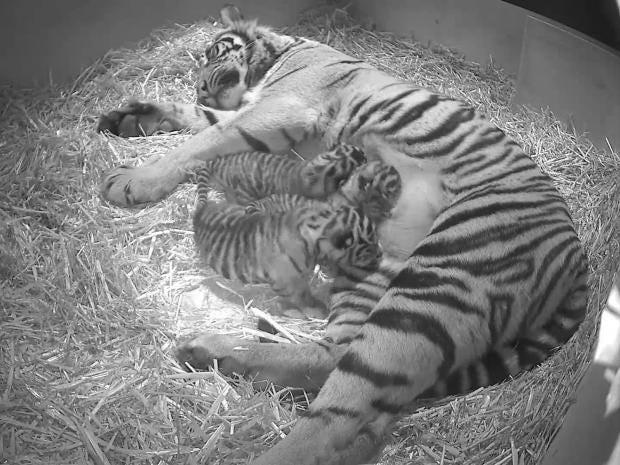 tigers-london-sumatran.jpg