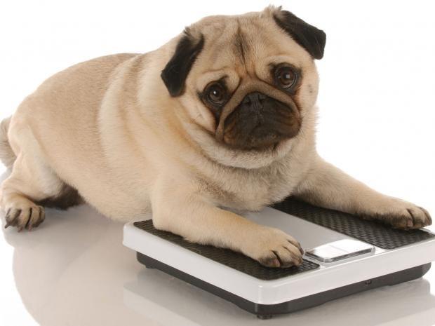 fat-pets.jpg