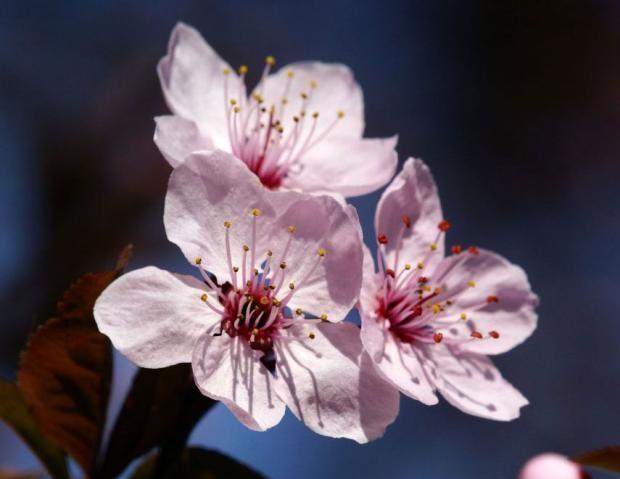 cherry-plum.jpg