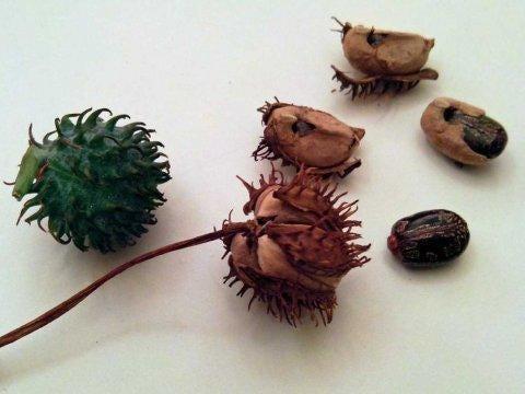 ricin-castor-oil-plant-seeds-3.jpg