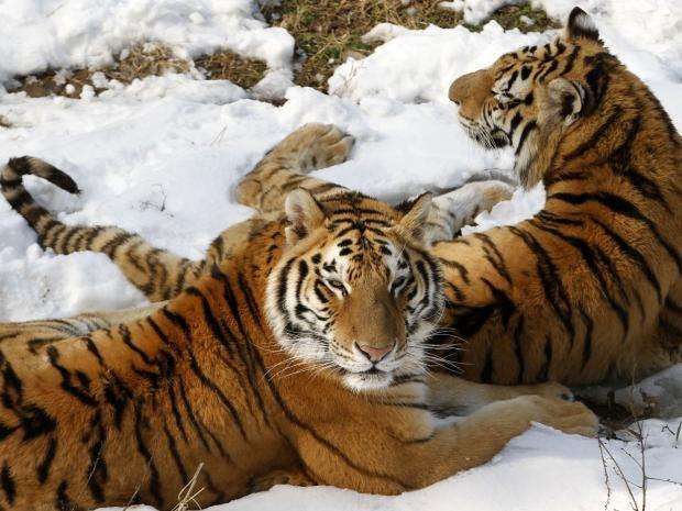 tigerslaughter.jpg
