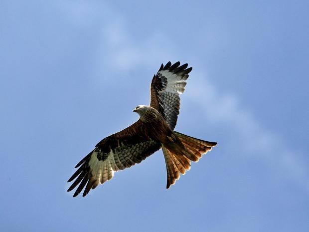 red-kites.jpg