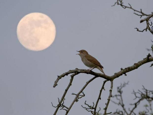 Image result for nightingale song at night