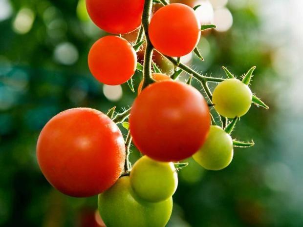 tomatoesALAMY.jpg