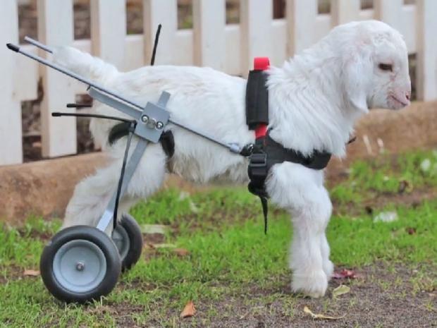wheelchair-goat.jpg