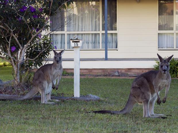 Kangaroos-canberra.jpg