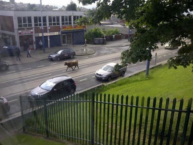Cow-loose.jpg